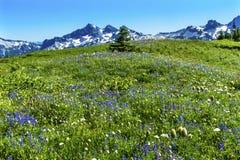 Montering Rainier National Park W för paradis för vildblommaTatoosh område Royaltyfri Bild