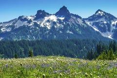 Montering Rainier National Park W för paradis för vildblommaTatoosh område Arkivbilder