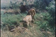 Montering van Afrikaanse fauna stock videobeelden