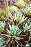MonteringsRoraima växter Arkivbilder