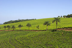Montes com plantação de chá Fotos de Stock Royalty Free