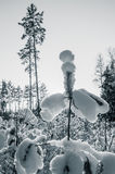 Montes de neve caprichosos bonitos em pinhos novos Fotografia de Stock Royalty Free