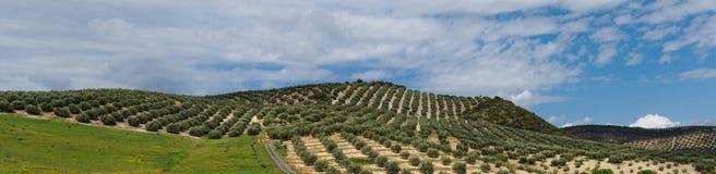 Montes mediterrâneos cobertos com as fileiras do tre verde-oliva fotos de stock royalty free