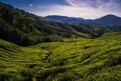 Montes verdes de rolamento de plantações de chá Foto de Stock Royalty Free