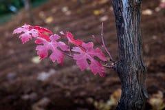 Montescudaio, Πίζα, Ιταλία - 19 Οκτωβρίου 2017 - φθινόπωρο λ αμπελώνων Στοκ φωτογραφίες με δικαίωμα ελεύθερης χρήσης