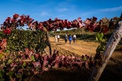 Montescudaio Pisa, Italien - Oktober 19, 2017 - vingårdhöst l Royaltyfri Fotografi