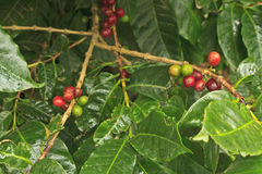 Monteverde Coffee Beans Royalty Free Stock Photography