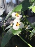 Montevidensis do Sagittaria ou flor gigante da seta Imagem de Stock