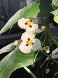 Montevidensis do Sagittaria ou flor gigante da seta Imagem de Stock Royalty Free