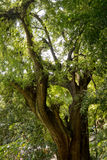 Montezuma Cypress Tree. Montezuma cypress or ahuehuete tree in central Mexico. One of the largest trees on earth Stock Photo