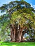 Montezuma cypressträd av Tule, Mexico Royaltyfria Bilder