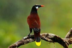 Montezuma Montezuma Oropendola, Psarocolius, Porträt des exotischen Vogels von Costa Rica, Braun mit schwarzem Kopf und orange Re lizenzfreies stockbild
