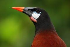 Montezuma Montezuma Oropendola, Psarocolius, Porträt des exotischen Vogels von Costa Rica, Braun mit schwarzem Kopf und orange Re lizenzfreie stockfotos