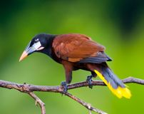 Montezuma Oropendola Stock Photo