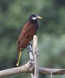 Montezuma Oropendola Fotografía de archivo