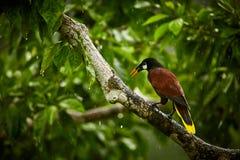 Montezuma Oropendola, Psarocolius-montezuma, exotische vogel van Co Stock Fotografie