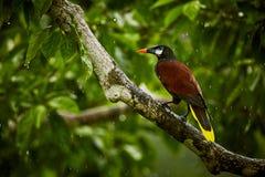 Montezuma Oropendola, Psarocolius-montezuma, exotische vogel van Co Stock Foto