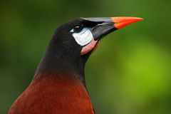 Montezuma Oropendola, Psarocolius montezuma, portrait of exotic bird from Costa Rica, brown with black head and orange bill, clear Royalty Free Stock Image