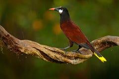 Montezuma Oropendola, Psarocolius montezuma, portrait of exotic bird from Costa Rica, brown with black head and orange bill, clear Stock Photo