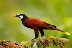 Montezuma Oropendola, Psarocolius-montezuma, portret van exotische vogel van Costa Rica, bruin met zwarte hoofd en oranje rekenin stock foto