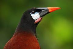 Montezuma Oropendola, Psarocolius montezuma, stående av den exotiska fågeln från Costa Rica, brunt med det svarta huvudet och den Royaltyfri Bild