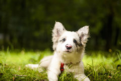3 month border collie photo Royalty Free Stock Image
