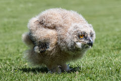 Month old eagle owl. 1 month old eagle owl chick standing on grass at ground level staring to the right Stock Images