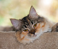 7-month-old Medium-Haired Torbie w/White Kitten Royalty Free Stock Photos
