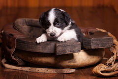 Month-old puppy Border Collie put his front paws Royalty Free Stock Images