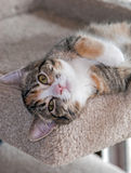 7-month-old Torbie w/White Kitten Lying on Back. 7-month-old Torbie with white female kitten lies on back head hanging over edge of beige carpet bed looking into Stock Images
