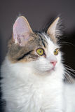 8-Month-Old White Kitten with Brown Tabby Markings Royalty Free Stock Photography