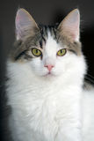 8-Month-Old White with Tabby Markings Kitten Royalty Free Stock Photo