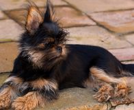 Yorkie x Pekingese puppy lying outdoors in the sun stock photos