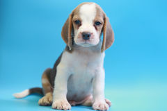 2 months beagle puppy sit down and looking camera Royalty Free Stock Photography