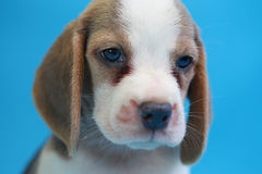 2 months beagle puppy sit down and looking camera Stock Photo