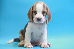 2 months beagle puppy sit down and looking camera Stock Images