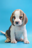 2 months beagle puppy sit down and looking camera Royalty Free Stock Photos