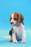 2 months beagle puppy sit down and looking camera Stock Photography