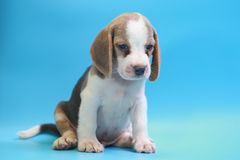 2 months beagle puppy sit down and looking camera. On blue screen Stock Image