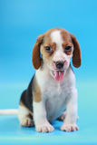 2 months beagle puppy sit down and looking camera. On blue screen Royalty Free Stock Photo
