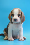 2 months beagle puppy sit down and looking camera. On blue screen Royalty Free Stock Photography