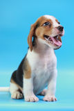2 months beagle puppy sit down and looking camera. On blue screen Stock Photos