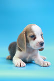 2 months beagle puppy sit down and looking camera. On blue screen Royalty Free Stock Images