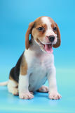 2 months beagle puppy sit down and looking camera. On blue screen Royalty Free Stock Photos