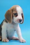 2 months beagle puppy sit down and looking camera. On blue screen Stock Photo