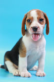 2 months beagle puppy sit down and looking camera. On blue screen Stock Images