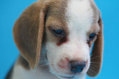 2 months beagle puppy sit down and looking camera. On blue screen Stock Photography