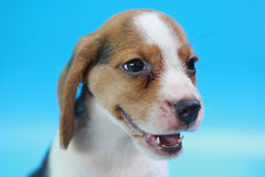 2 months beagle puppy sit down and looking camera. On blue screen Royalty Free Stock Image