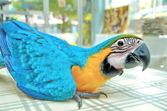3 Months Blue and Yellow Macaw lovely bright children`s emotions royalty free stock photo