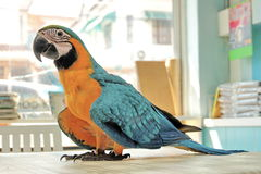 3 Months Blue and Yellow Macaw lovely bright children`s emotions. 3 Months male blue and yellow macaw parrot in house. Birds walk on the the dining table as a stock photo